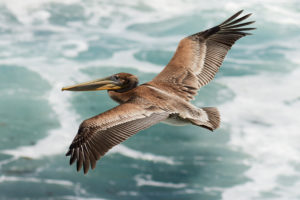 brown_pelican_in_flight